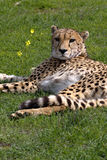 African Cheetah Stock Images