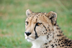 African cheetah Royalty Free Stock Photos