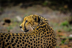 Free African Cheetah Royalty Free Stock Images - 82930739
