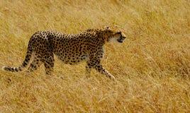 An African Cheetah. (Acinonyx jubatus) on the Masai Mara National Reserve safari in southwestern Kenya Royalty Free Stock Photography