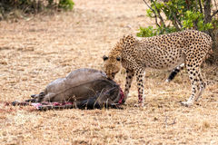 African Cheetah. Adult cheetah feasting on wildebeest kill, Masai Mara National Reserve, Kenya, East Africa Royalty Free Stock Photos