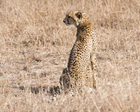 African cheetah Royalty Free Stock Image
