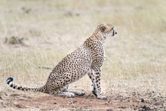 African cheetah Royalty Free Stock Images