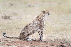 African cheetah. Adult African cheetah, Masai Mara National Reserve, Kenya, East Africa Royalty Free Stock Images