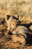 African cheetah feasting on a warthog. Feeding shot of a cheetah eating Stock Photo
