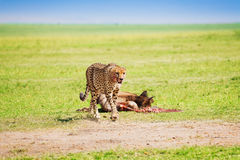 African cheetah after feasting on wildebeest kill Stock Image