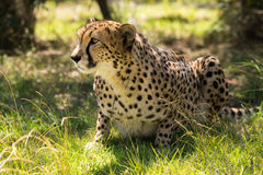 African cheetah on grass Royalty Free Stock Images
