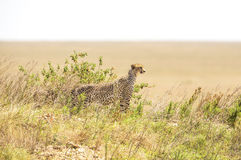 African cheetah on a hill in Serengeti Stock Photo