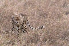 African cheetah hunting Royalty Free Stock Photos