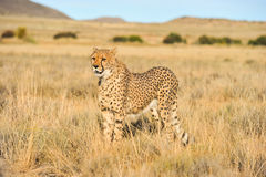 An African cheetah looking out for prey. Shot of an African cheetah looking around for prey Royalty Free Stock Photos