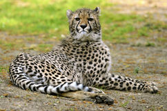 African Cheetah lying on grass Stock Photo