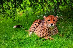 African cheetah. An African cheetah lying on grass under a tree in the wilderness Royalty Free Stock Photo