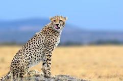 African cheetah, Masai Mara National Park, Kenya, Africa. Cat in nature habitat. Greeting of cats Stock Photos