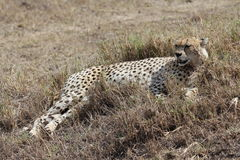 African cheetah Stock Photos