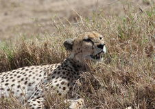 African cheetah Stock Image
