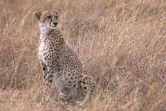 African cheetah photographed at Masai Mara National Reserve Royalty Free Stock Photos