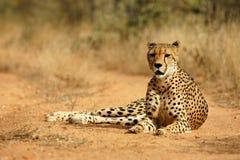 African Cheetah. Portrait shot of an elegant African Cheetah Stock Photos