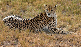 African Cheetah resting in nature. South Africa royalty free stock photo