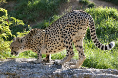 African Cheetah on rock Stock Photo