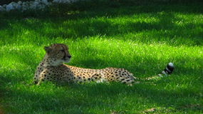 African cheetah sitting in the cool grass. African cheetah sitting in the cool grass looking into the distance for game, at the zoo on a savannah safari Stock Images