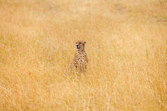 African cheetah sitting in the long dried grass. Portrait of African cheetah sitting in the distance in high dried grass, Masai Mara National Reserve, Kenya Royalty Free Stock Image