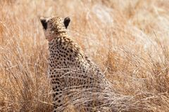 African Cheetah sitting in long grass stock image