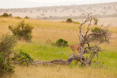 African cheetah standing on a dead tree at savanna Royalty Free Stock Photo