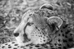 African Cheetah Royalty Free Stock Photography