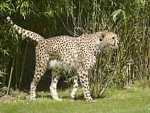 African Cheetah walking on grass Royalty Free Stock Photography