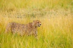 African cheetah walking in the long grass, Kenya Royalty Free Stock Photo
