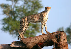 African cheetah. African wild cheetah on a tree looking for prey Stock Photo