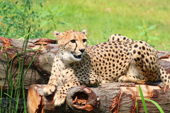 African Cheetahs Acinonyx jubatus sitting on tree Royalty Free Stock Image