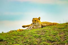 African cheetahs is lying on the green grass. The background is blue sky. It is close up photo. It is natural background with. Wildlife animal. There is spring stock image