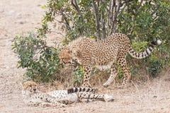 African cheetahs. Cheetahs,   Masai Mara National Reserve, Kenya, East Africa Stock Image