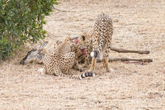 African cheetahs and their prey Stock Photos