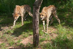 African cheetahs Royalty Free Stock Photo