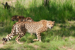 African cheetahs Stock Photo
