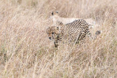 African cheetahs Royalty Free Stock Photos
