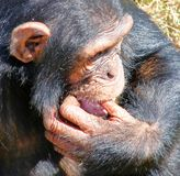 African chimp. African chimpanzee photographed in Uganda royalty free stock photo