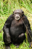 African chimpanzee Royalty Free Stock Photo