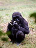 African chimpanzee Royalty Free Stock Photography