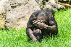 African Chimpanzee Hiding His Face Stock Photography