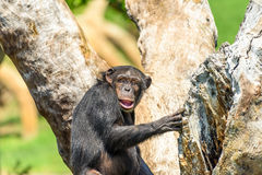 African Chimpanzee In Tree Stock Photo