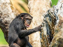 African Chimpanzee In Tree Royalty Free Stock Images