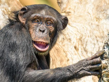 African Chimpanzee In Tree Royalty Free Stock Photography