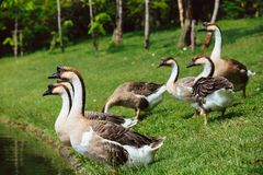 African Chinese geese Royalty Free Stock Photo