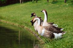 African Chinese geese Stock Images