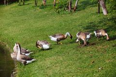 African Chinese geese Royalty Free Stock Image