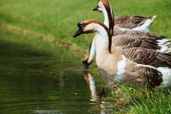 African Chinese geese Stock Photos