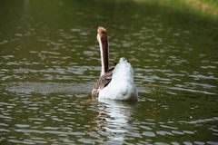African Chinese geese Stock Photography
